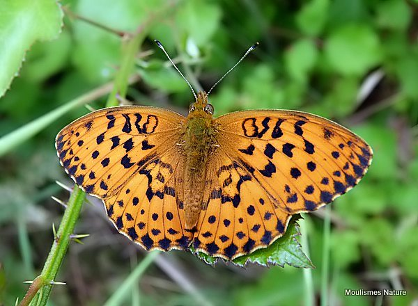 Marbled Fritillary (Brenthis daphne)