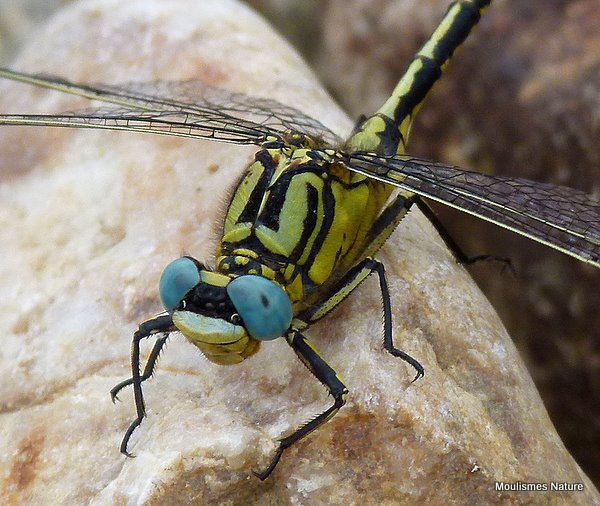 Yellow Clubtail (Gomphus simillimus) M