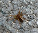 Raft / Great Raft Spider (Dolomedes fimbriatus/D. plantarius)