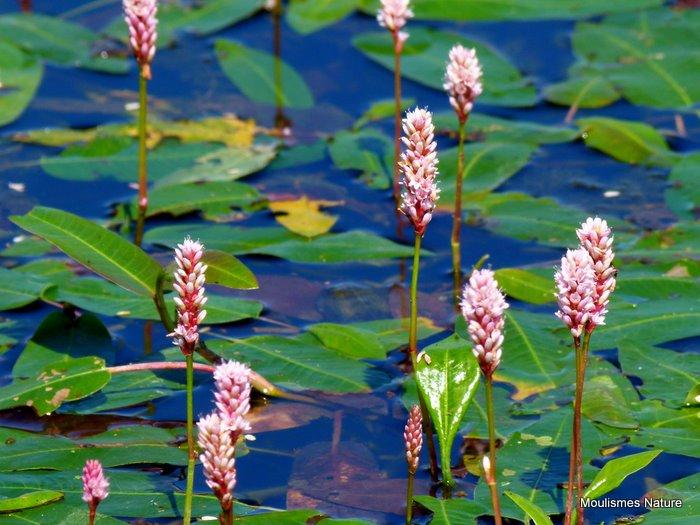 Polygonum amphibium, Amphibious Bistort