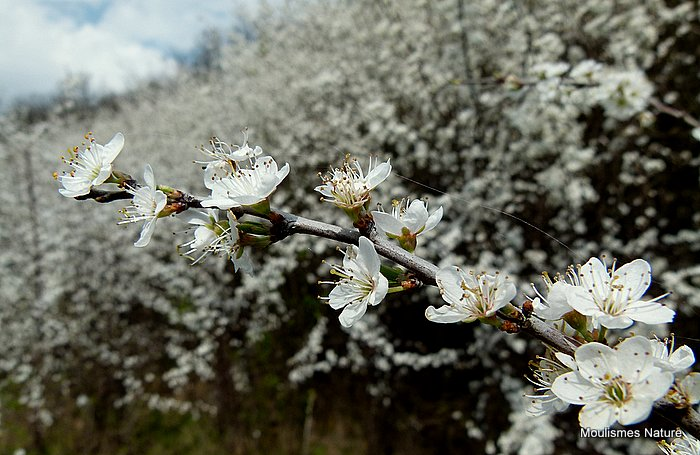 Prunus spinosa, Blackthorn