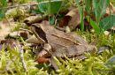 Agile frog (Rana dalmatina), Grenouille agile