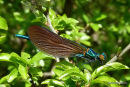 Beautiful Demoiselle (Calopteryx virgo) M-imm