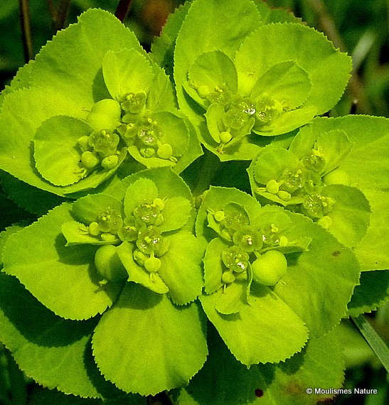 Euphorbia (Spurge) sp.