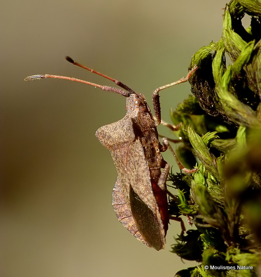 Dock Bug (Coreus marginatus)