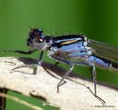 Blue-tailed Damselfly (Ischnura elegans) F-Imm/ten