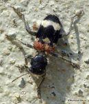 Soldier Beetle sp. (Clerus mutillarius)