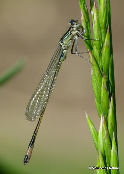 Blue-tailed Damselfly (Ischnura elegans) M-ten