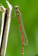 Large Red Damselfly (Pyrrhosoma nymphula) M-ten