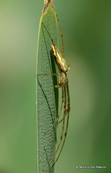 Striped Stretch Spider (Tetragnatha striata)