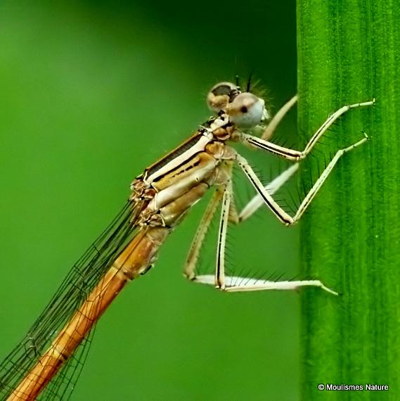 Orange White-legged Damselfly (Platycnemis acutipennis) M-ten