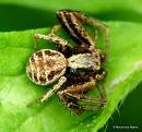 Crab spider (Xysticus audax)