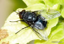 Calliphoridae fly sp.