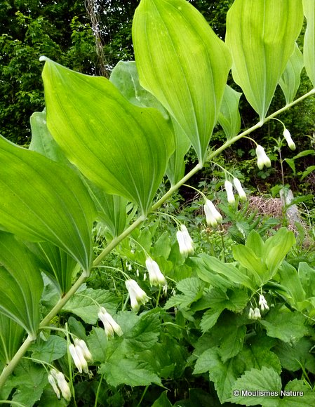Polygonatum multiflorum, Solomon's-seal