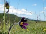 Cevennes Pasque Flower (Pulsatilla rubra subsp. rubra)