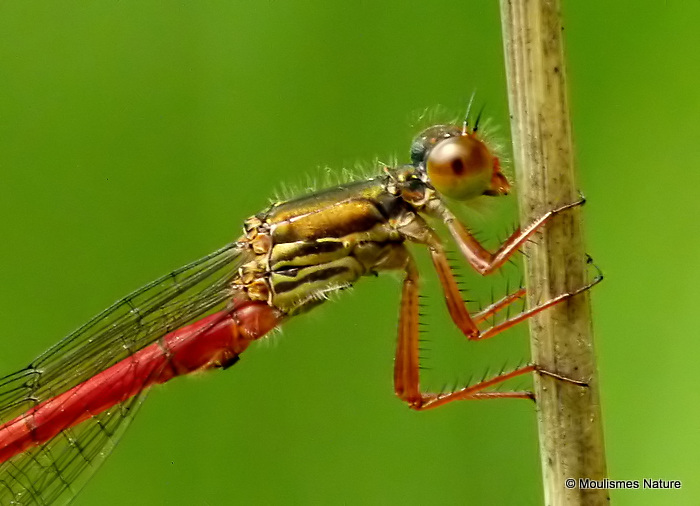 Small Red Damselfly (Ceriagrion tenellum) M