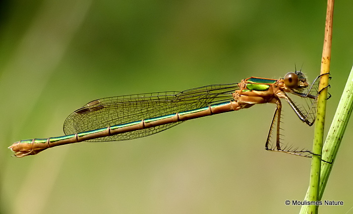 Common Emerald (Lestes sponsa) F-Imm