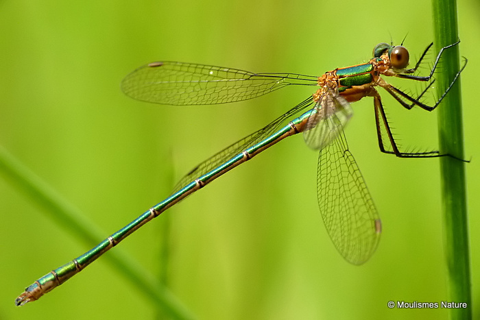 Common Emerald (Lestes sponsa) M-imm