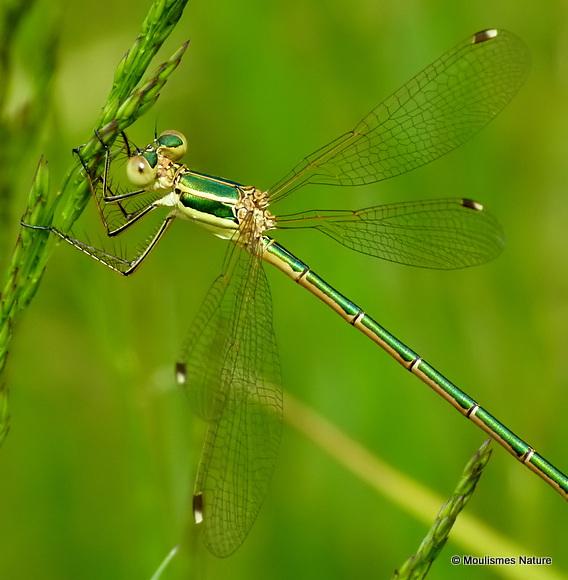 Southern Emerald (Lestes barbarus) F
