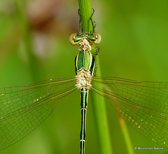 Southern Emerald (Lestes barbarus) M, Leste sauvage