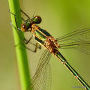 Common Emerald (Lestes sponsa) F