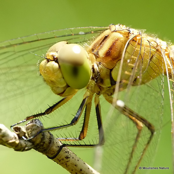 Southern Darter (Sympetrum meridionale) M-Imm