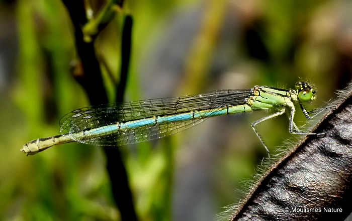 Goblet-marked Damselfly (Erythromma lindenii) F