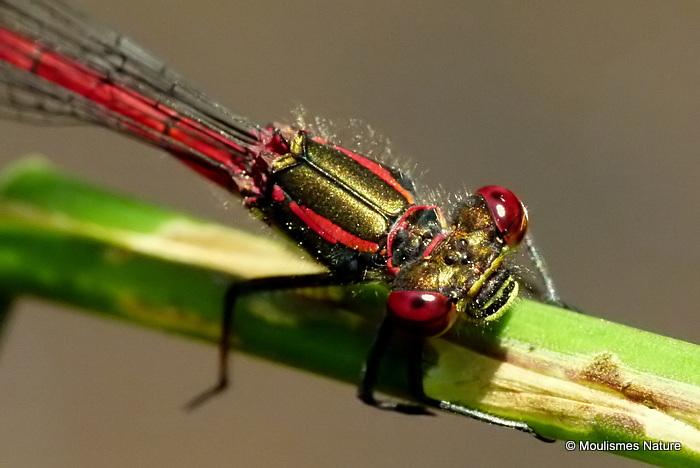 Large Red Damselfly (Pyrrhosoma nymphula) M