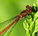 Large Red Damselfly (Pyrrhosoma nymphula) M
