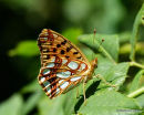 Queen of Spain Fritillary (Issoria lathonia), Le Petit Nacre