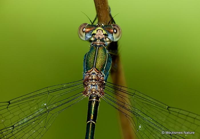 Willow Emerald (Lestes viridis) F