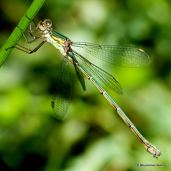 Willow Emerald (Lestes viridis) F