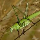 Sickle-bearing Bush-cricket (Phaneroptera falcata) F
