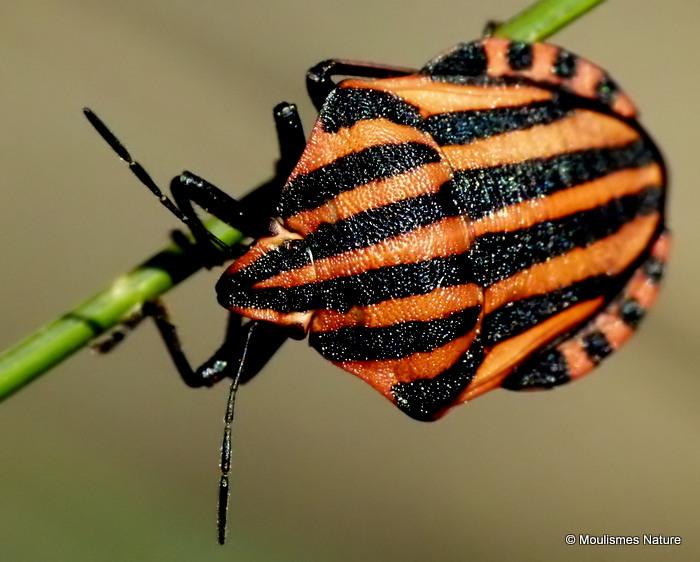 AC Milan Shieldbug (Graphosoma italicum)