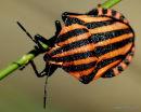 AC Milan Beetle (Graphosoma italicum)