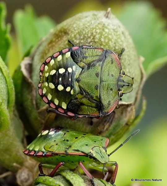 Southern Green Shieldbug (Nezara viridula)