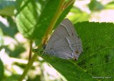 Purple Hairstreak (Neozephyrus quercus), La Thecla du chene