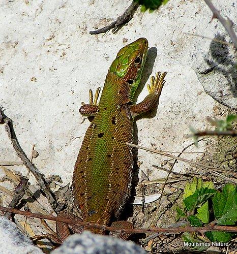 Green Lizard (Lacerta bilineata), sub-adult