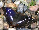 Purple Emperor (Apatura iris) M