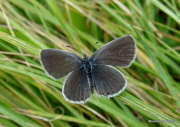 Provencal Short-tailed Blue (Everes alcetas) F