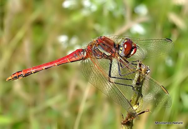 Red-veined Darter (Sympetrum fonscolombii) M, Sympetrum a nervures rouges