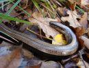 Slow Worm (Anguis fragilis) F/sub-adult, Orvet