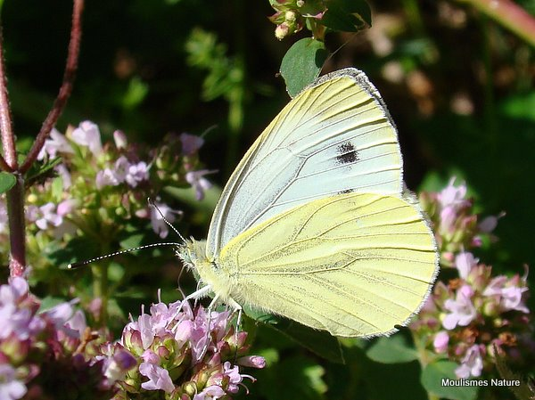 Green-veined White (Pieris napi) F