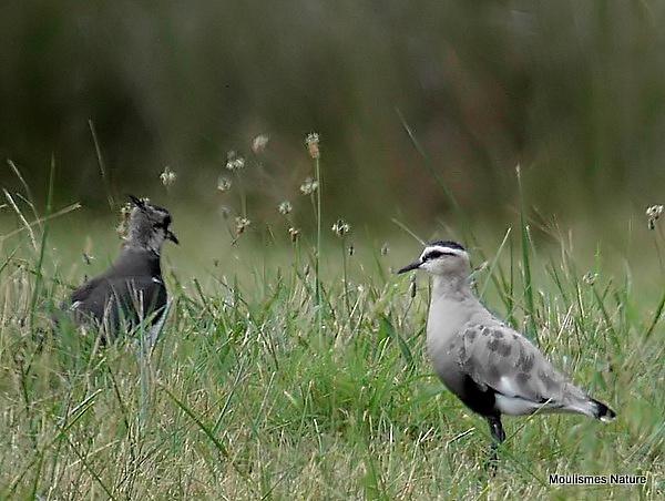 Sociable Plover (Vanellus gregarius)