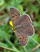 Sooty Copper (Lycaena tityrus) M, Le Cuivré fuligineux