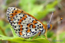 Spotted Fritillary (Melitaea didyma) M