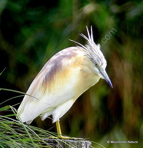 Squacco Heron (Ardeola ralloides) Ad-S