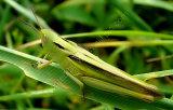 Tricolor Grasshopper (Paracinema tricolor bisignata)