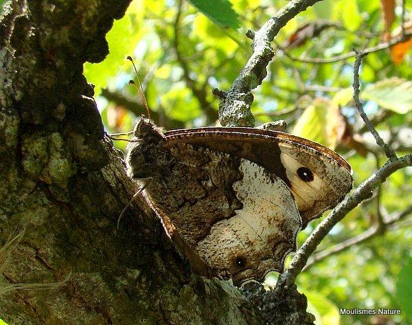 Woodland Grayling (Hipparchia fagi)