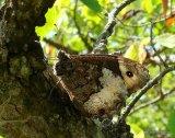 Woodland Grayling (Hipparchia fagi), Le Sylvandre